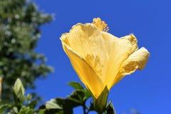 Flor amarilla brillante del hibisco Fotografía de archivo