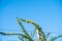 Flor amarilla brillante en el tronco espinoso verde del arbusto de la aulaga fotos de archivo libres de regalías