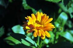 Flor amarilla brillante soleada Imagen de archivo