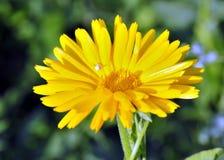 Flor amarilla brillante soleada Imagenes de archivo