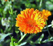 Flor amarilla brillante soleada Fotos de archivo