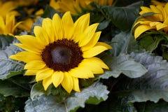 Flor amarilla con el fondo de color verde oscuro Imagen de archivo libre de regalías
