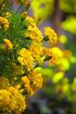 Flor amarilla con el fondo de la falta de definición Imagen de archivo