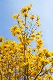 Flor amarilla con el fondo del cielo azul en jardín Foto de archivo libre de regalías