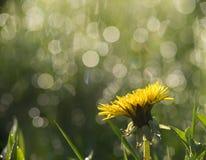 Flor amarilla con el fondo hermoso del bokeh Imágenes de archivo libres de regalías