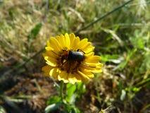 Flor amarilla con el insecto en el centro Imagenes de archivo
