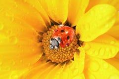 Flor amarilla con el ladybug Fotos de archivo libres de regalías