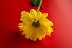 Flor amarilla con el tronco en un fondo rojo Imagen de archivo