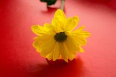 Flor amarilla con el tronco en un fondo rojo Imágenes de archivo libres de regalías