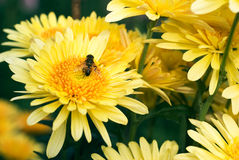 Flor amarilla con la abeja Imagenes de archivo