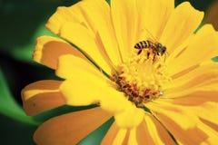 Flor amarilla con la abeja Fotografía de archivo