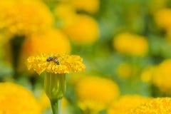 Flor amarilla con la abeja Fotografía de archivo libre de regalías