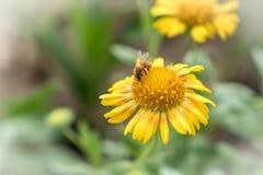Flor amarilla con la abeja Imágenes de archivo libres de regalías