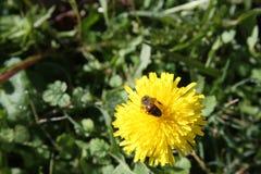 Flor amarilla con la abeja Foto de archivo libre de regalías