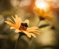 Flor amarilla con la abeja en la luz del sol Fotos de archivo
