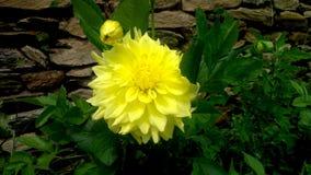 Flor amarilla con la hoja roja verde Imagen de archivo