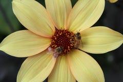 Flor amarilla con las abejas Fotos de archivo libres de regalías