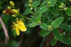Flor amarilla con las gotas de agua, rocío Fotos de archivo