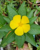 Flor amarilla con las hojas Fotografía de archivo