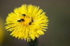 Flor amarilla con los escarabajos Imágenes de archivo libres de regalías