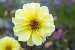 Flor amarilla con néctar colecting de la abeja Fotografía de archivo libre de regalías