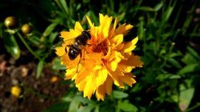 Flor amarilla con un abejón Foto de archivo libre de regalías