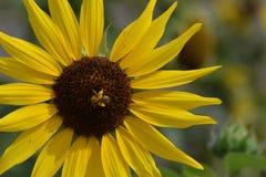 Flor amarilla con un insecto Fotografía de archivo