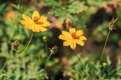 Flor amarilla con un vuelo de la abeja Fotografía de archivo libre de regalías