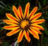 Flor amarilla con una abeja Imagen de archivo
