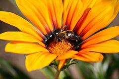 Flor amarilla con una abeja Foto de archivo libre de regalías