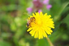 Flor amarilla con una abeja Fotografía de archivo