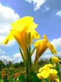 Flor amarilla contra campo y cielo azul con las nubes hinchadas Fotos de archivo libres de regalías
