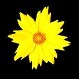 Flor amarilla - Coreopsis Pubescens - aislada Imagen de archivo libre de regalías
