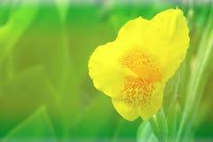 Flor amarilla de Canna Fotos de archivo libres de regalías