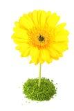 Flor amarilla de Gerber Imágenes de archivo libres de regalías