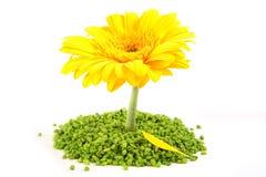 Flor amarilla de Gerber Imagen de archivo