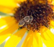 Flor amarilla de la abeja de un girasol Imágenes de archivo libres de regalías