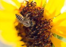 Flor amarilla de la abeja de un girasol Foto de archivo libre de regalías
