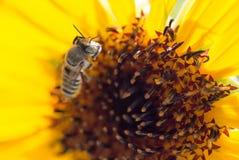 Flor amarilla de la abeja de un girasol Imagen de archivo