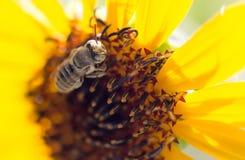 Flor amarilla de la abeja de un girasol Fotos de archivo libres de regalías