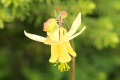 Flor amarilla de la aguileña en la floración Fotografía de archivo