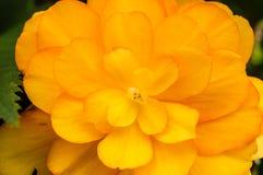 Flor amarilla de la begonia en la floración Fotos de archivo