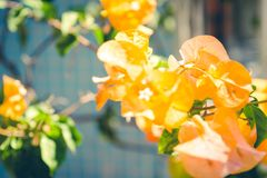 Flor amarilla de la buganvilla Fotos de archivo