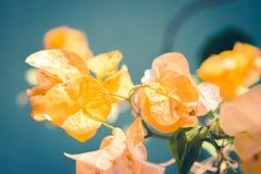 Flor amarilla de la buganvilla sobre un fondo de la turquesa imagen de archivo