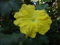 Flor amarilla de la calabaza de esponja Foto de archivo libre de regalías