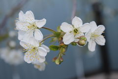Flor amarilla de la cereza de cornalina Imagenes de archivo
