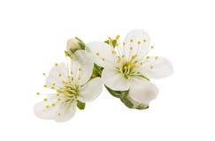 Flor amarilla de la cereza de cornalina imagen de archivo