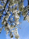 Flor amarilla de la cereza de cornalina fotos de archivo