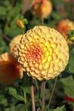 Flor amarilla de la dalia Fotos de archivo