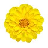 Flor amarilla de la dalia aislada en blanco Imagen de archivo